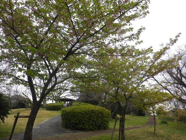 09-2)河津桜  _ 16.03.06 曇りのち雨の逗子「大崎公園」