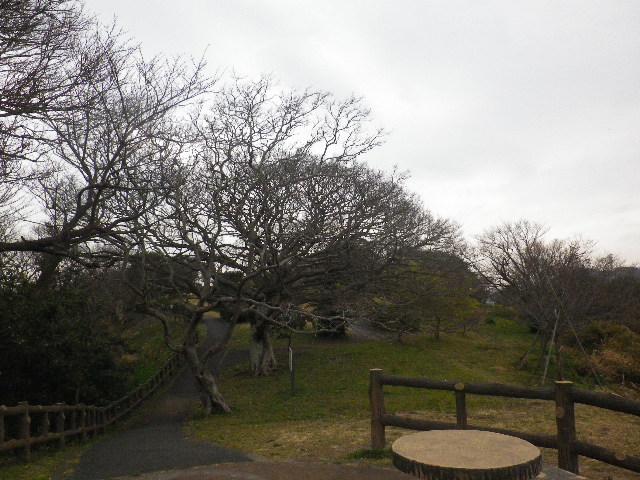 08-7) 岬先端の展望場所から振り返った  _ 16.03.06 曇りのち雨の逗子「大崎公園」