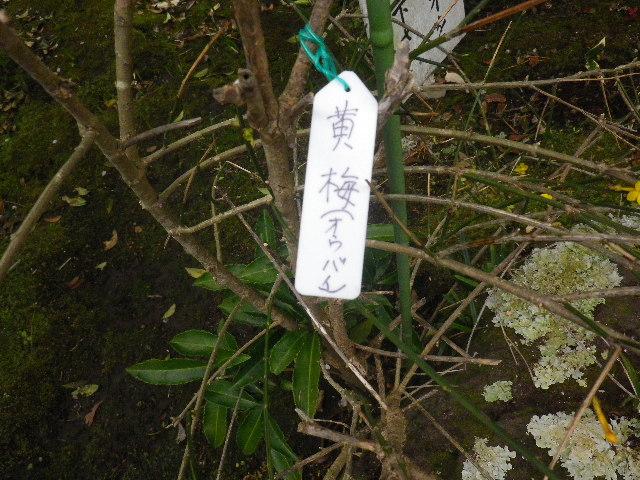 07-1) 黄梅  _ 16.03.12 鎌倉「大巧寺」種類豊富な椿が咲き揃い始める頃