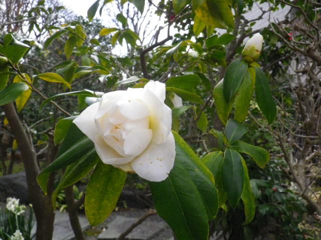 10-2) 都鳥/ミヤコドリ  _ 16.03.12 鎌倉「大巧寺」種類豊富な椿が咲き揃い始める頃