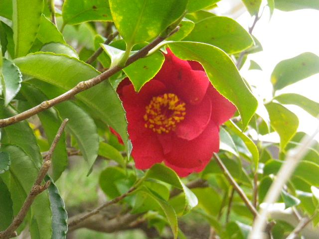 11-2) 緋縮緬  _ 16.03.12 鎌倉「大巧寺」種類豊富な椿が咲き揃い始める頃