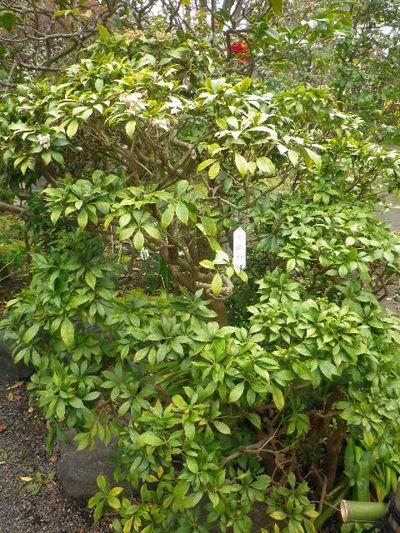 12-2) 馬酔木/あせび  _ 16.03.12 鎌倉「大巧寺」種類豊富な椿が咲き揃い始める頃