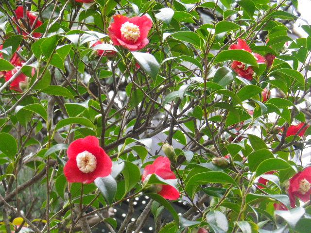 13-3) 朴伴  _ 16.03.12 鎌倉「大巧寺」種類豊富な椿が咲き揃い始める頃