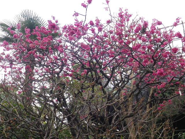 14-3) 緋寒桜  _ 16.03.12 鎌倉「大巧寺」種類豊富な椿が咲き揃い始める頃