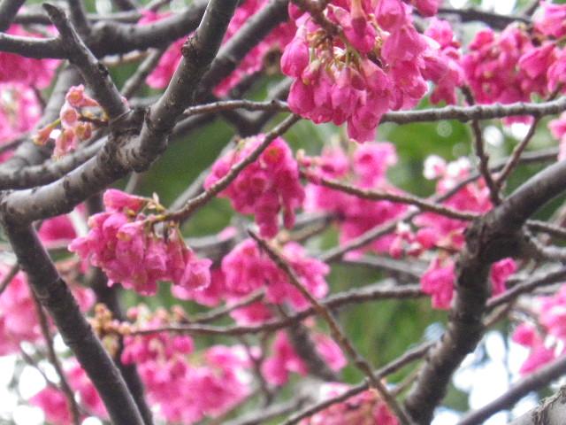 14-4) 緋寒桜  _ 16.03.12 鎌倉「大巧寺」種類豊富な椿が咲き揃い始める頃