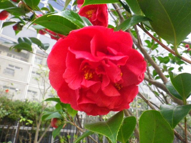 15-3) クラーマーズシュープリーム  _ 16.03.12 鎌倉「大巧寺」種類豊富な椿が咲き揃い始める頃