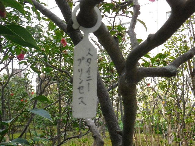 17-1) スタイニープリンセス  _ 16.03.12 鎌倉「大巧寺」種類豊富な椿が咲き揃い始める頃
