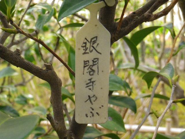 18-1) 銀閣寺やぶ  _ 16.03.12 鎌倉「大巧寺」種類豊富な椿が咲き揃い始める頃