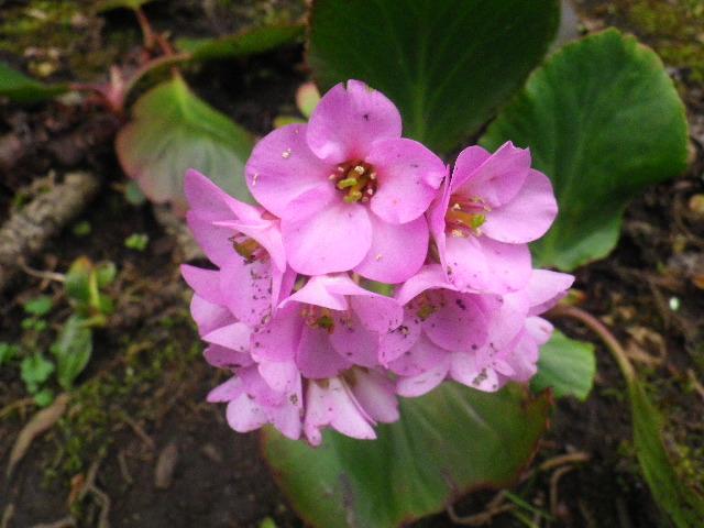19-3) ヒマラヤゆきのした  _ 16.03.12 鎌倉「大巧寺」種類豊富な椿が咲き揃い始める頃