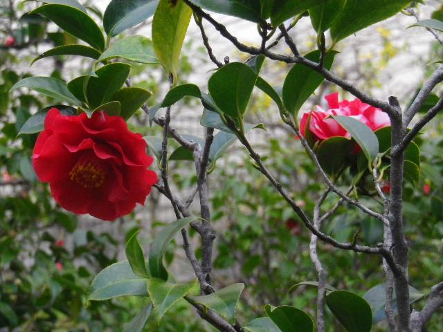 20-2) らせん染  _ 16.03.12 鎌倉「大巧寺」種類豊富な椿が咲き揃い始める頃