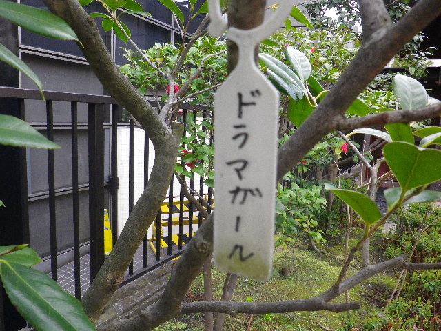 22-1) ドラマガール  _ 16.03.12 鎌倉「大巧寺」種類豊富な椿が咲き揃い始める頃