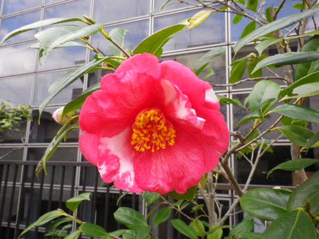 22-2) ドラマガール  _ 16.03.12 鎌倉「大巧寺」種類豊富な椿が咲き揃い始める頃