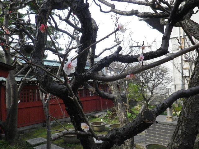 24-3) そうめいの月  _ 16.03.12 鎌倉「大巧寺」種類豊富な椿が咲き揃い始める頃