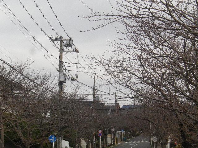 02)   16.03.16 三月最終週が開花かナ?逗子ハイランドの桜