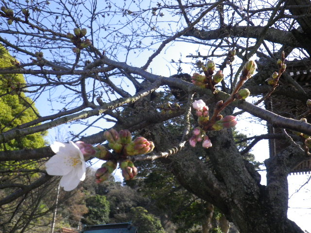 03-2)  16.03.21 鎌倉「光明寺」開花寸前、桜の蕾。