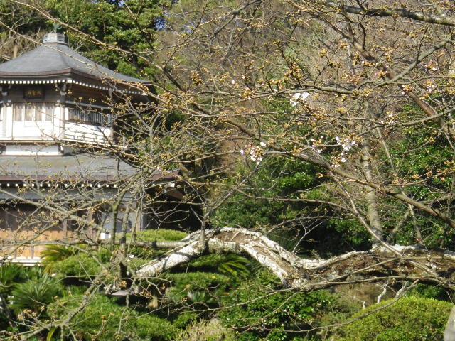 04-1)  16.03.21 鎌倉「光明寺」開花寸前、桜の蕾。