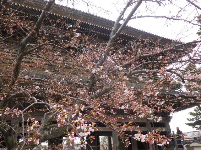 02) 山門を潜ってからの境内 _ 16.03.30 鎌倉「光明寺」五分咲きで、散りそうなのをハラハラせずに観桜を楽しむ頃。