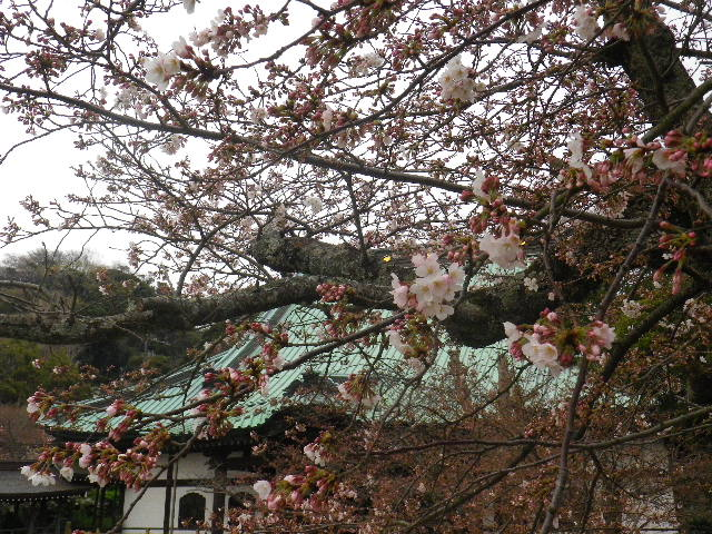 03) 大殿周辺 _ 16.03.30 鎌倉「光明寺」五分咲きで、散りそうなのをハラハラせずに観桜を楽しむ頃。