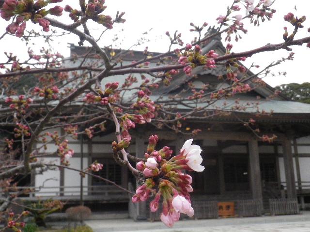04) 開山堂周辺 _ 16.03.30 鎌倉「光明寺」五分咲きで、散りそうなのをハラハラせずに観桜を楽しむ頃。
