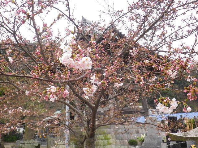 05-1) 鐘楼周辺 _ 16.03.30 鎌倉「光明寺」五分咲きで、散りそうなのをハラハラせずに観桜を楽しむ頃。