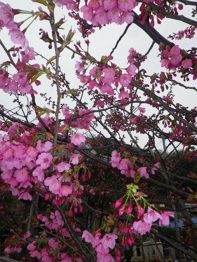 06-2) 塔頭「蓮乗院」境界塀周辺の、早咲き種の桜。 河津桜か? _ 16.03.30 鎌倉「光明寺」五分咲きで、散りそうなのをハラハラせずに観桜を楽しむ頃。