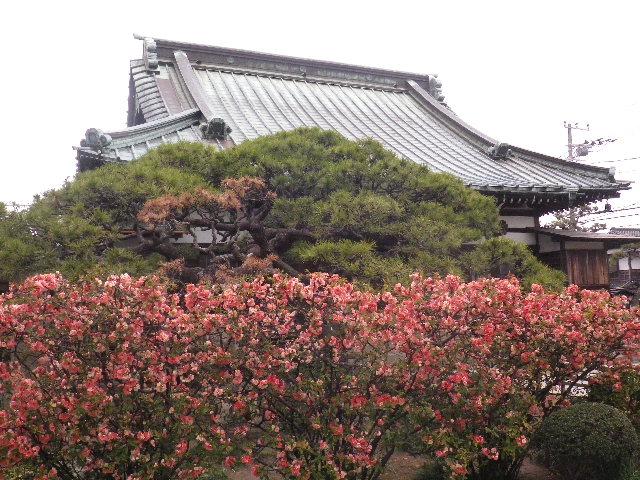 03) 16.03.30 鎌倉「九品寺」木瓜の花
