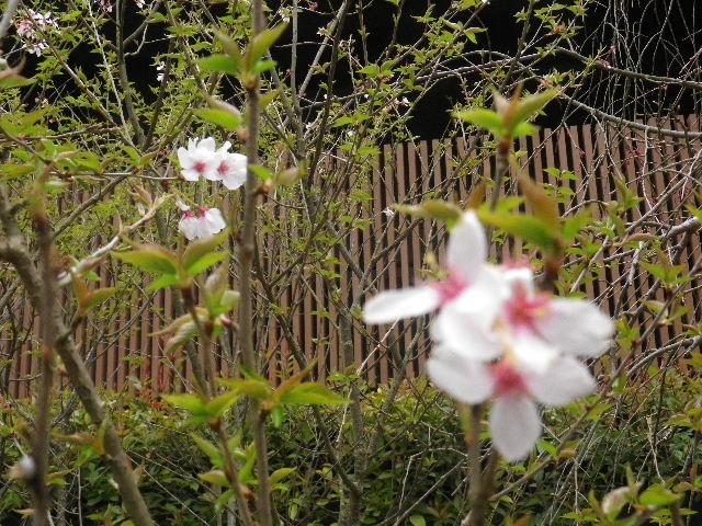 03-2) 名を知らぬ早咲き種の桜  _ 16.03.30 鎌倉「妙本寺」の桜。 早!海棠も咲いている。