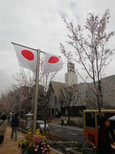 """03) 今年は見られないと思っていたが、植え替えられた """" 段葛 """" の桜も咲き揃った。 _ 16.04.02 鎌倉「鶴岡八幡宮」桜満開の頃"""
