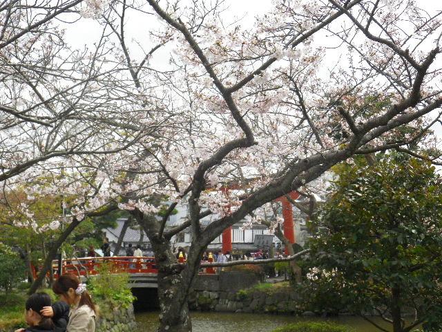 20) 平家池側中之島の桜 _ 16.04.02 鎌倉「鶴岡八幡宮」桜満開の頃