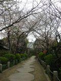 01)   16.04.02 鎌倉「宝戒寺」参道の桜
