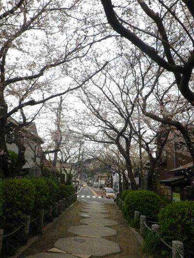 03)   参道を振り返る _ 16.04.02 鎌倉「宝戒寺」参道の桜