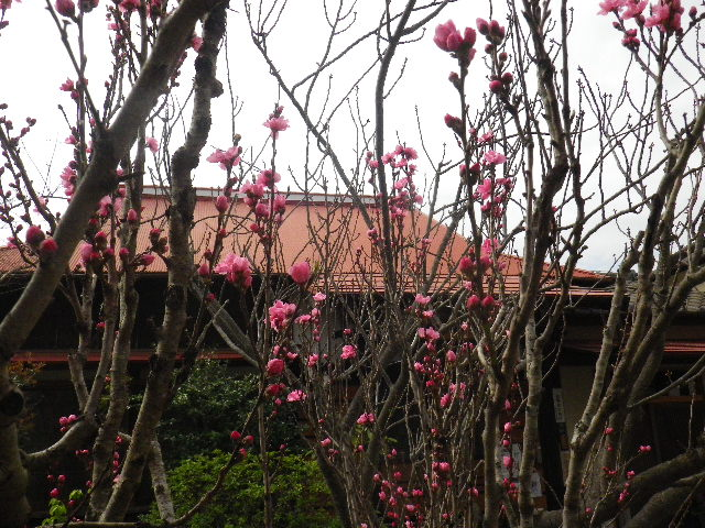03-1) ウウッ! ごめんなさい。外に居られた奥様に境内の花の名を二回も教わったのに、動画の録音マイクに吹きこむ際にはスッカリ名前を忘れてしまった桜。 _ 16.04.02 鎌倉「向福