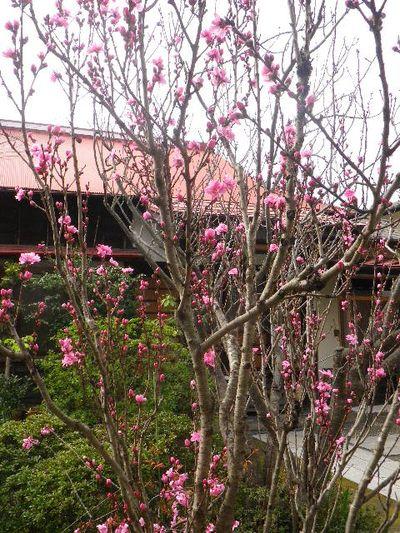 03-2) スッカリ名前を忘れてしまった桜 _ 16.04.02 鎌倉「向福寺」桜の花と桃の花
