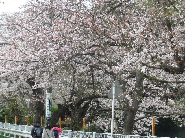 02) 一応、ズムで撮っておいた。 _ 16.04.02 鎌倉山の桜