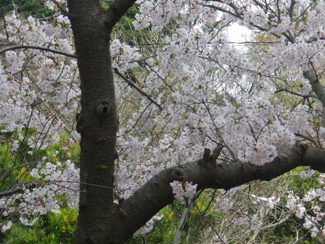 02) 16.04.02 鎌倉「五所神社」の桜