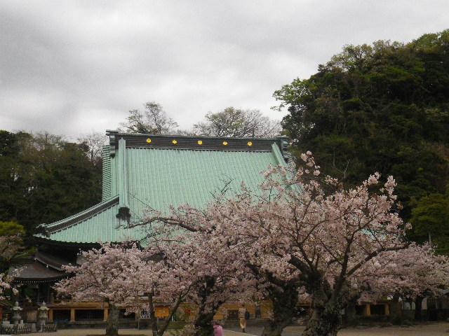 05) 大殿を背景に境内左側の桜 _ 16.04.08 鎌倉「光明寺」前日の風雨に耐え、文字通り灌仏会に花を添えた桜の老木。
