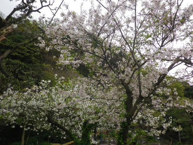 02)   16.04.08 或る幼稚園の塀越しに見た桜。赤いのは緋桃の花か? _ 鎌倉市材木座