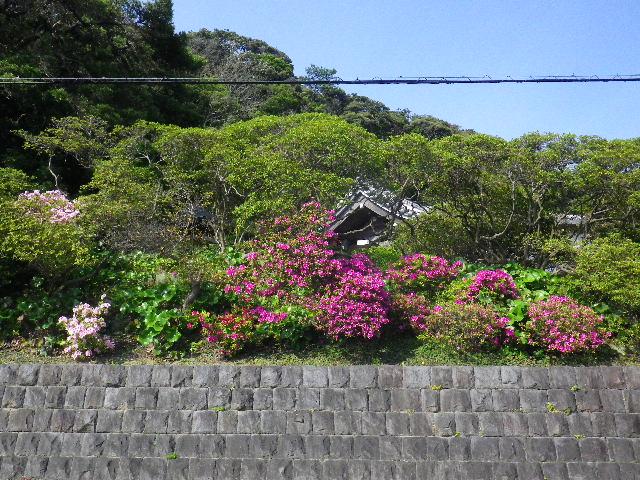 02-1) 16.04.20 鎌倉「安養院」最盛期は黄金週間頃だけど、先走ってツツジを偵察。