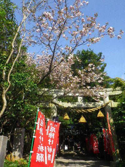 02) 16.04.20 鎌倉大町「八雲神社」の八重桜