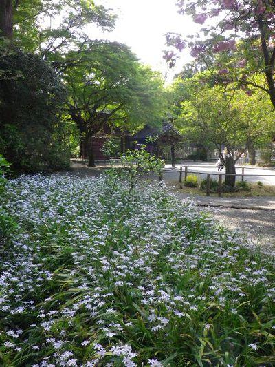 03-2) 比企一族墓所前周辺のシャガ _ 16.04.20 鎌倉「妙本寺」シャガの花と八重桜