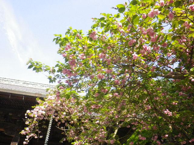 """04-1) """" 祖師堂 """" 前の八重桜 _ 16.04.20 鎌倉「妙本寺」シャガの花と八重桜"""