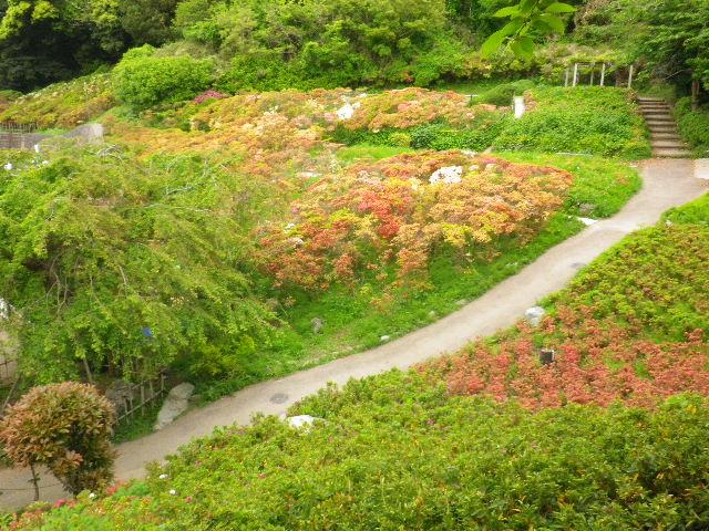10) 16.04.27 葉山「花の木公園」のツツジを観に行った!・・・ ・・・ ・・・ ・・・のだけれども、遥か前に咲き終わって ' 花殻の絨毯 ' ?だった。 アワワワワ 嗚呼
