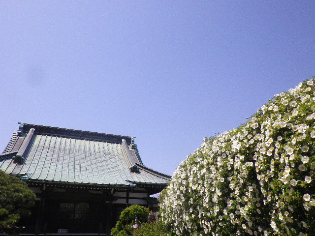 01) _ 16.04.26 鎌倉「九品寺」ナニワイバラが咲き揃う頃