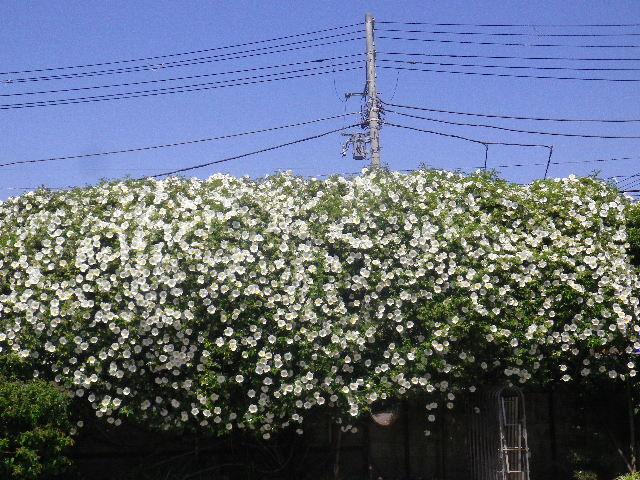 03-1) _ 16.04.26 鎌倉「九品寺」ナニワイバラが咲き揃う頃