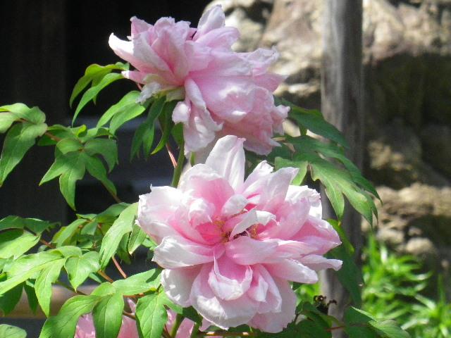 09-2) _ 16.04.26 鎌倉「九品寺」ナニワイバラが咲き揃う頃