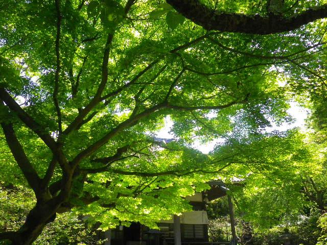 03)  _ 16.04.30 晩春の・・・というよりも、立夏直前というべき緑が濃い  鎌倉「安国論寺」。