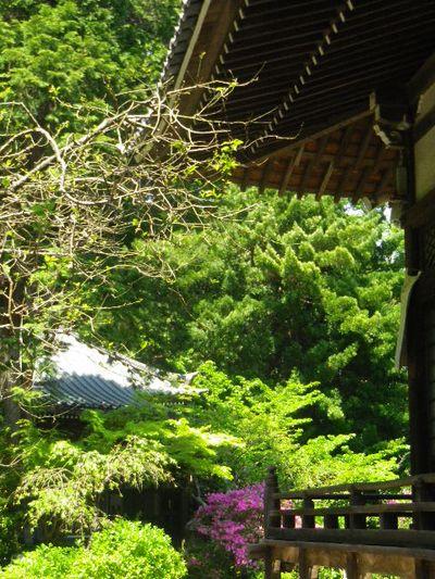 08)  _ 16.04.30 晩春の・・・というよりも、立夏直前というべき緑が濃い  鎌倉「安国論寺」。