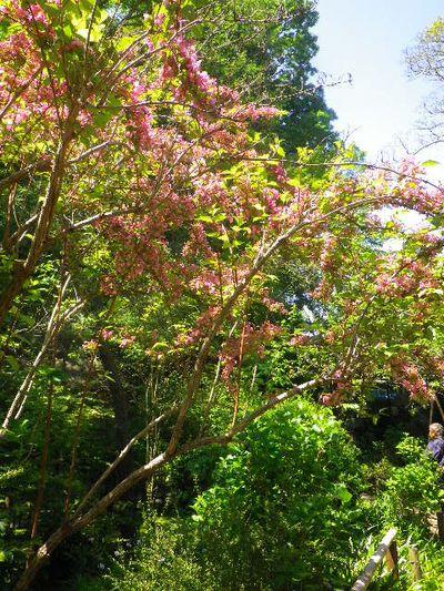 11-1)  _ 16.04.30 晩春の・・・というよりも、立夏直前というべき緑が濃い  鎌倉「安国論寺」。