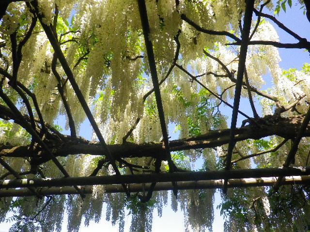 1-06)  _ 16.05.05 白藤に蜜蜂が集う時期の、鎌倉「英勝寺」。