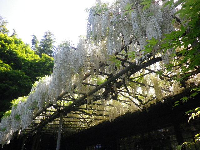 1-08) _ 16.05.05 白藤に蜜蜂が集う時期の、鎌倉「英勝寺」。